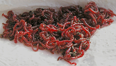 Bloodworm is also an important element if catch rates are to be improved.